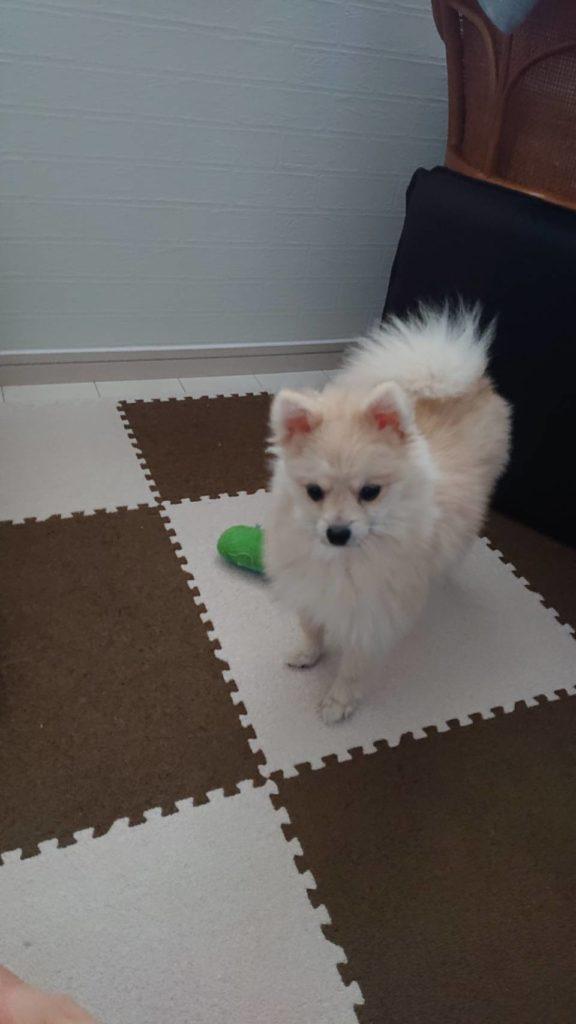 岡山市で新築を建てているサン・ブランドハウス岡山店スタッフ森本の飼っている犬です。
