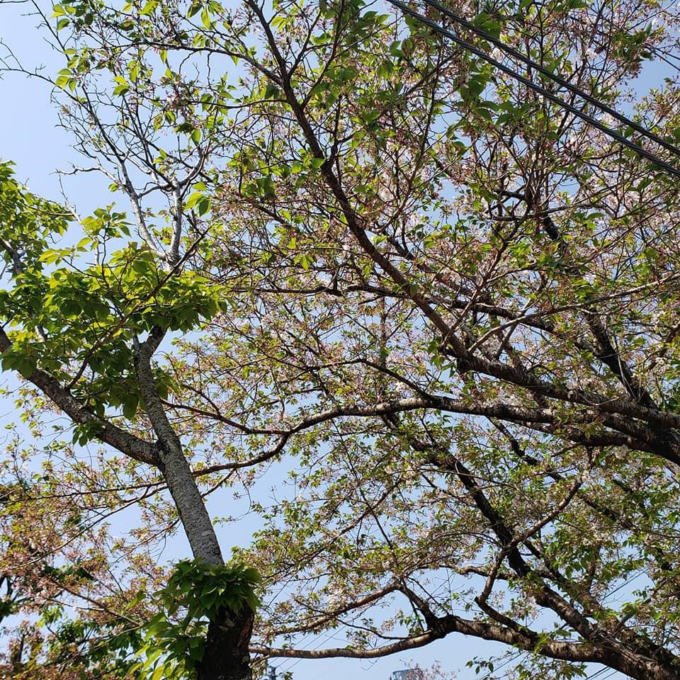高知市の大谷公園の葉桜です。